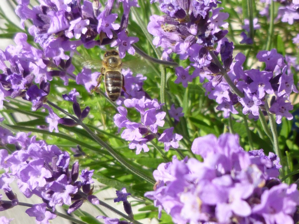 bi i lavendelblomma