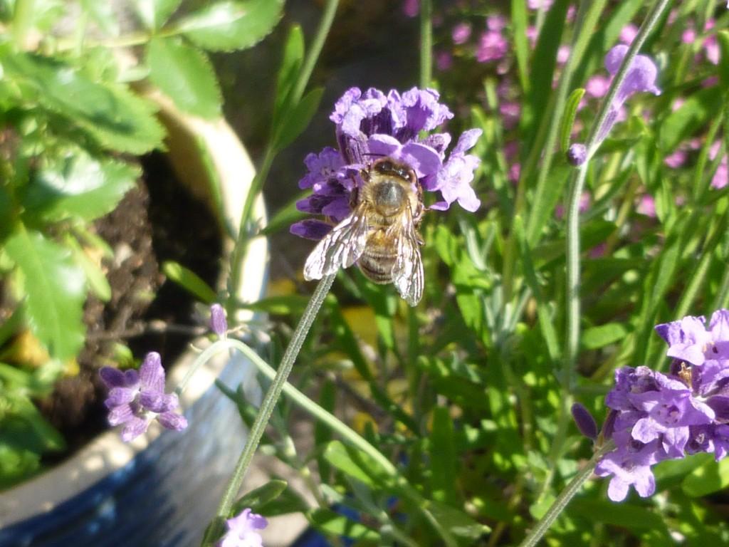bi i lavendelblomma 2