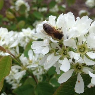 Bi i blomma från Sakatoonbärbuske